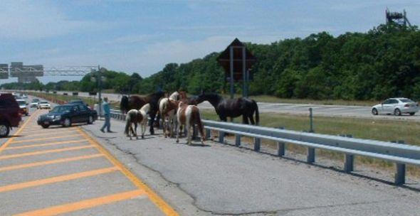 Maries Horses Stop Traffic